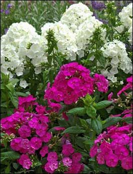 Perennial phlox bloom from the end of May through the first frost and are available in more than 100 varieties. These Peacock series phlox combine well with the rich colors of salvias.