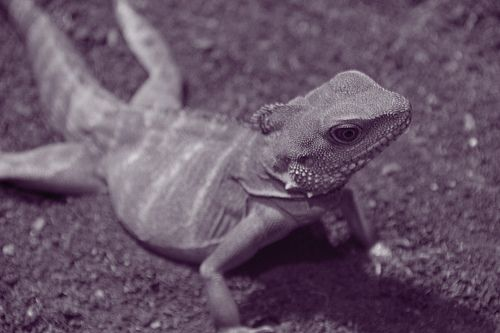 https://flic.kr/p/4aBMna | Water Dragon, Marwell Zoo - B/W with Purple Tones | Marwell Zoo, Hampshire - 01/11/07