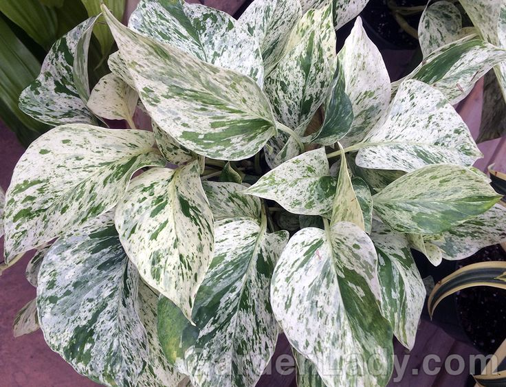 pothos marble queen | This pothos is not only easy to grow, but it brightens up…