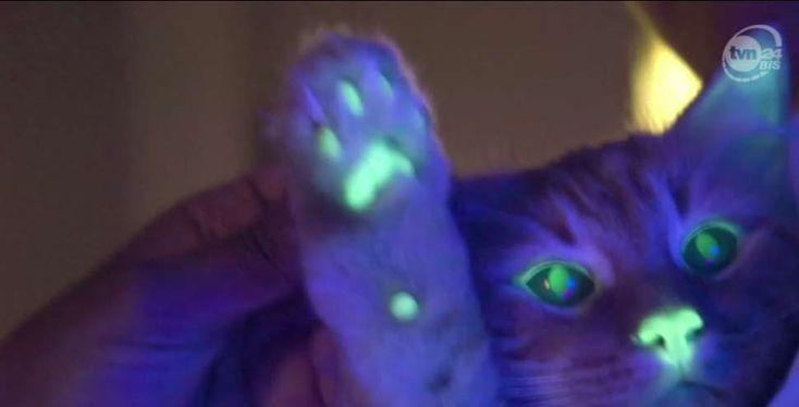 Klonowanie i genetyka – Rasowe Koty Domowe