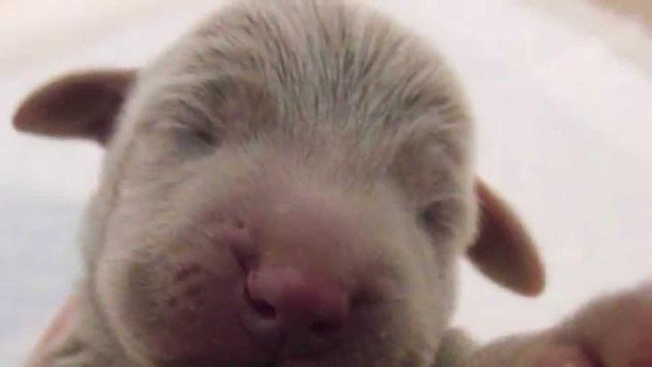 【ヤバイ!キュン死する】萌え〜♪超かわいい♪ワイマラナーの赤ちゃん(Cute puppy /귀여운 강아지 / chiot mignon / l...