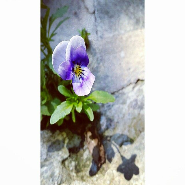 Sunshine softly fall on wild flower come out of rocks ... always have hopes and preseveres
