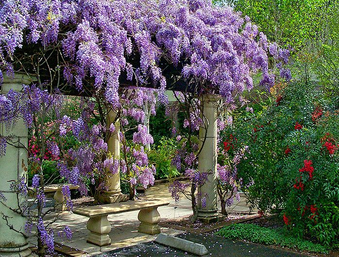Wisteria Falls Wallpaper Climbing Plants An English Gardener In The Philippines