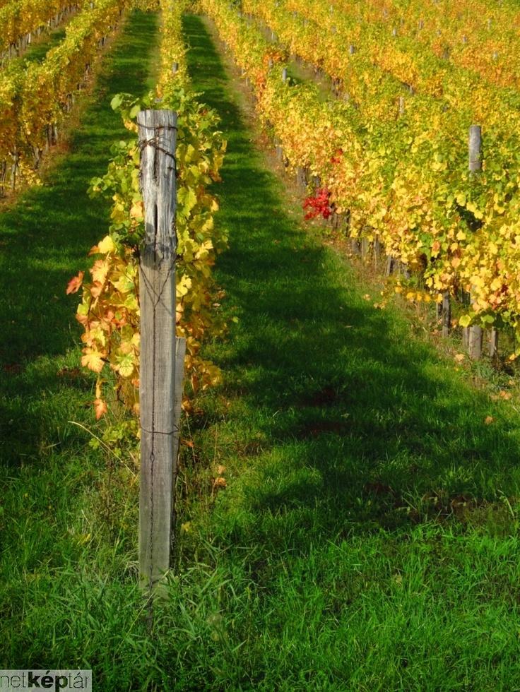 vineyard#Balaton#Hungary#fall