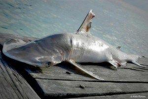 Descubierta una nueva especie de tiburón martillo en aguas de Belice