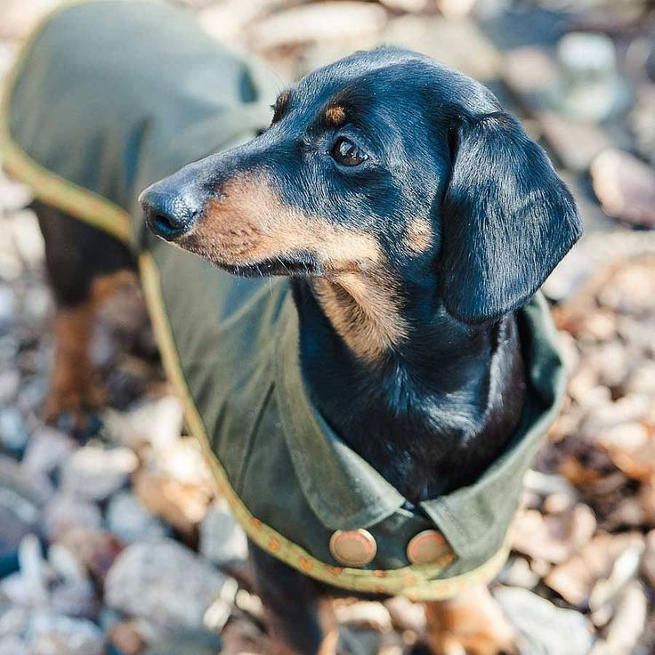 dachshund waterproof cotton dog coat by redhound for dogs | notonthehighstreet.com