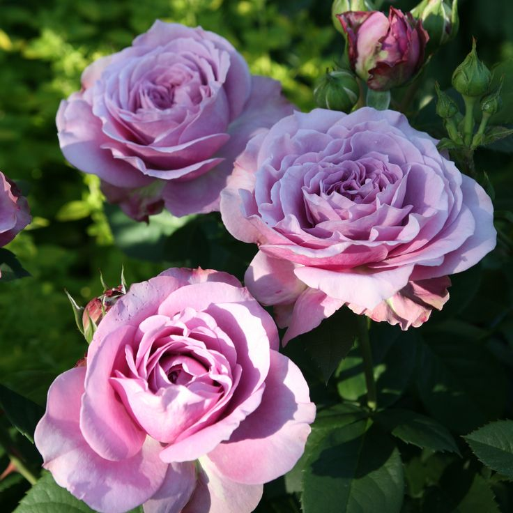 (Rosen Tantau 2012) Lavender Ice® is a compact low growing but big flowering HT, which we classify to the patio roses as well as Heidi Klum Rose®, but regarding the flower size and flower density they rather Floribundas....