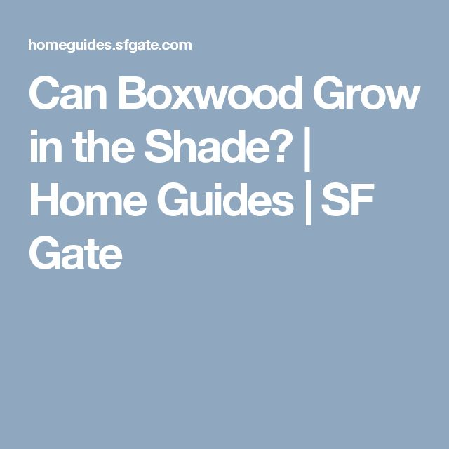 "Can Boxwood Grow in the Shade? | Home Guides | SF Gate Shade Tolerance  Shade protects certain boxwood from becoming orange in winter. Although boxwood will grow in full sun, some varieties are prone to losing their green color. Spring renews the green, and the only way to prevent the color change is to supply the boxwood with more shade. Most boxwood prefer to grow in part shade. Certain ones will tolerate greater amounts of shade. For example, ""Green Mountain""..."