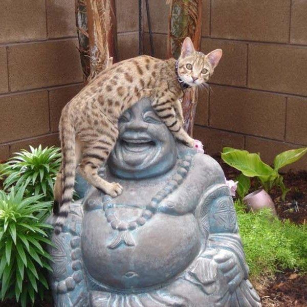 Client Brag Page - Savannah Cats - Select Exotics Hunter F3 Savannah #savannahcats #exoticcats #cats