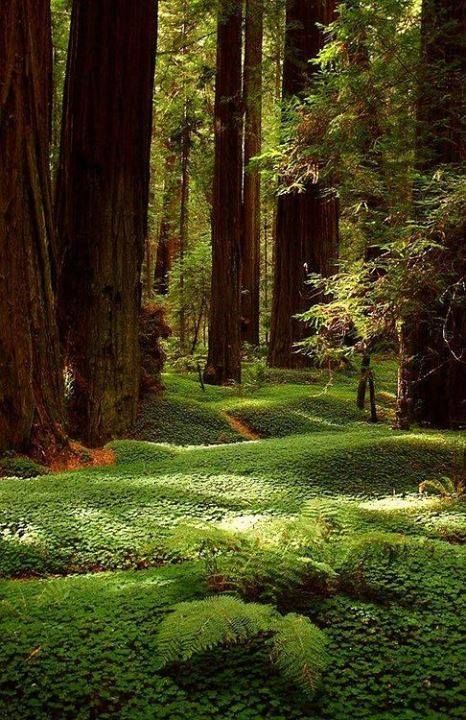 The Redwoods, California, USA