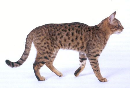 Un Californian  Spangled spotted tabby