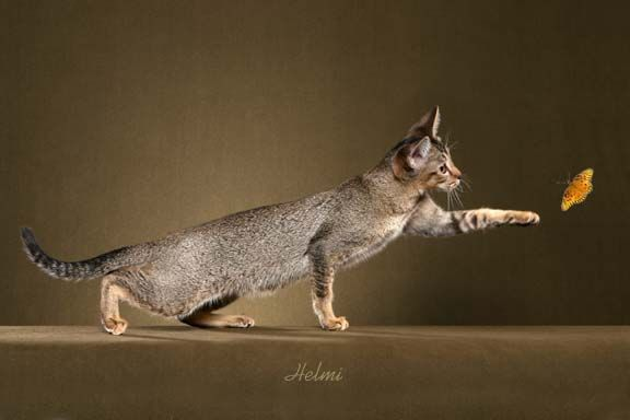 chausie cats | Chausie Cats, Chausies and Chausie Kittens of Marechal Cattery