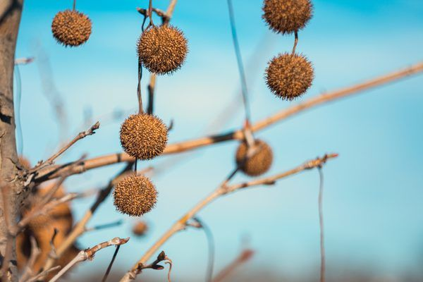 What To Do With Sycamore Balls Trees To Plant Tree Seeds Sycamore Seed