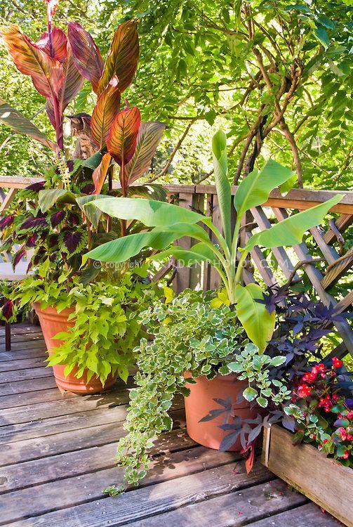 Musa banana canna tropicanna plectranthus annuals kong coleus ipomoea sweet potato vines - Container gardening in florida ...