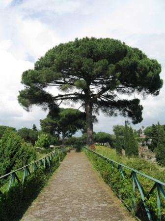 55 mejores im genes sobre pinos en pinterest pino for Ver fotos de arboles de hoja perenne
