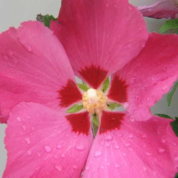 Syrisk rose <i>Hibiscus syriacus </i>