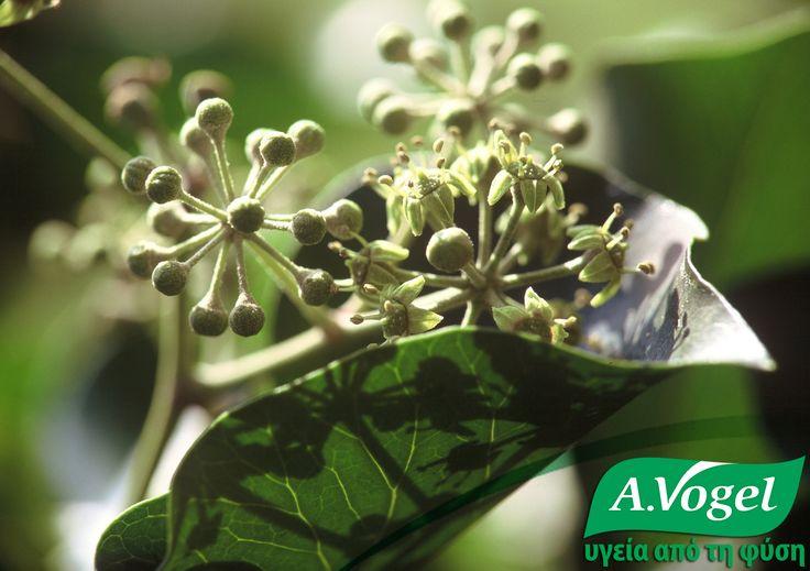 Κισσός - Hedera Helix - Ivi leaf.  Παραδοσιακοί βοτανοθεραπευτές έχουν χρησιμοποιήσει τον κισσό για πολυάριθμες παθήσεις όπως η βρογχίτιδα, η αρθρίτιδα, οι ρευματισμοί και η δυσεντερία.   Ο κισσός χρησιμοποιείται με επιτυχία στη θεραπεία καταρροϊκών καταστάσεων στην περιοχή των παραρρινικών κόλπων ή στο θώρακα.  Βοηθά στη θεραπεία του βήχα και της βρογχίτιδας διευκολύνοντας τη ρευστοποίηση των εκκρίσεων.