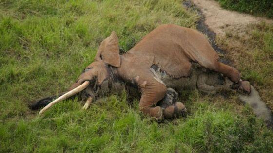 Satao II, l'un des derniers éléphants aux défenses géantes retrouvé mort au Kenya  En savoir plus : http://www.maxisciences.com/elephant/satao-ii-l-039-un-des-derniers-elephants-aux-defenses-geantes-retrouve-mort-au-kenya_art39279.html Copyright © Gentside Découverte