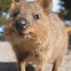 Spot a Quokka on Rottnest Island near Perth, WA. They will practically walk over you feet so keep them wild and avoid feeding or touching them but do enjoy the experience of seeing such a cute animal on a close up encounter!