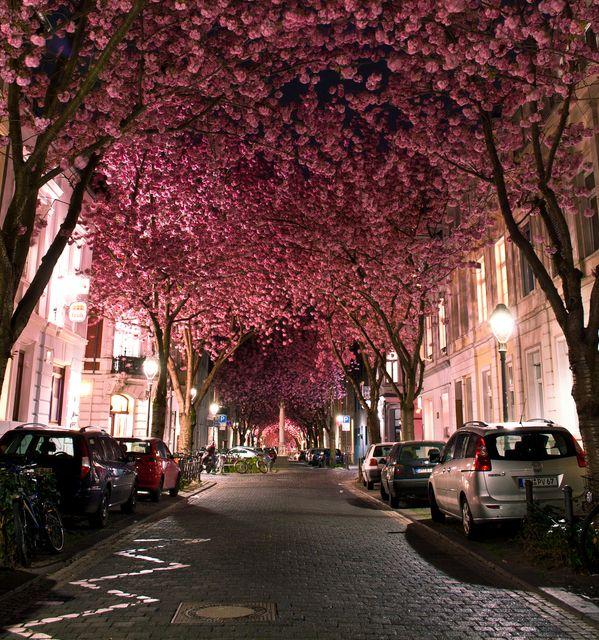 Cercada por flores de cerejeira, a Cherry Blossom Avenue fica localizada na Alemanha.