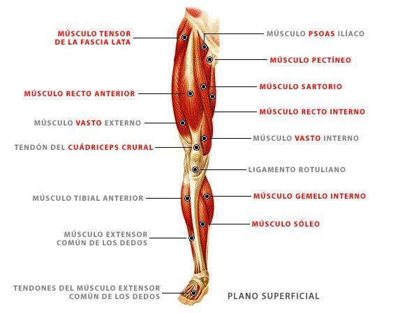 Resultado de imagen para anatomia piernas