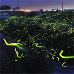Long Exposure Photo of Fireflies in Japan...just awesome