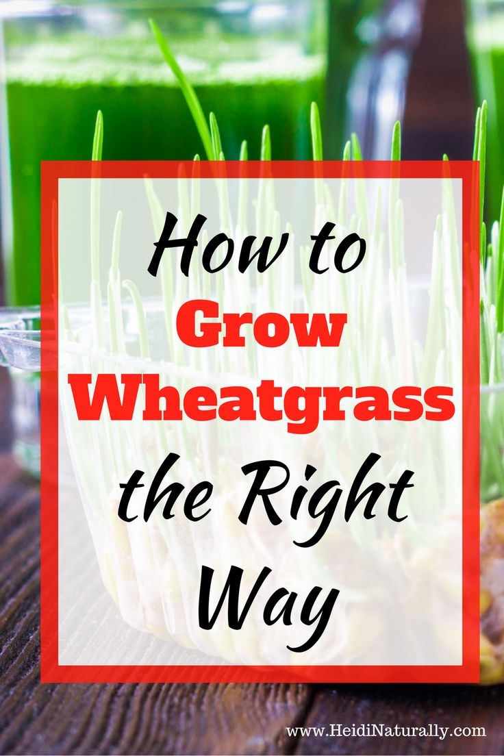 Find out how to grow wheatgrass successfully. Learn the simple steps to take to make sure your wheatgrass crop will grow. Wheatgrass benefits and health benefits of wheatgrass are included too along with the best place to get your wheatgrass seeds. Pets like it too. via @heidinaturally