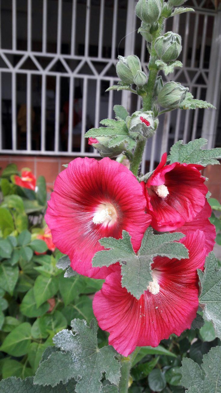 Alcea Rosea L. Malvarrosa