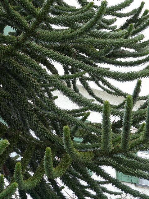 """8月30日の誕生日の木は""""世界三大美樹""""のひとつ「アロウカリア アロウカーナ(Araucaria araucana)」です。英名は「Monkey Puzzle Tree」。和名は「チリマツ」といいます。原産地は、和名の示すようにチリ。アルゼンチンとの国境付近。アンデス山系の南部だけに分布しています。マツ科ではなくナンヨウスギ科の常緑針葉樹です。樹高は 20~30m。中には高さ50mに達するものもあります。幼木は人が両腕を広げて立っているような樹形ですが、成長すると傘形の針葉樹の樹形になります(写真は成長した木のアップです)。ちなみに世界三大美樹の残りふたつは、「コウヤマキ(高野槙)」と「ヒマラヤスギ(ヒマラヤ杉)」。いずれも常緑針葉樹の高木です。アロウカリア アロウカーナの特徴は、何と言っても枝をびっしりと覆う三角形の硬い葉。幼木の時は幹にもびっしりと三角形の葉が密集しています。成長した木を遠目に見ると、トナカイの袋角のようにも見えますね。英名の「Monkey Puzzle Tree」は、どうやらこの枝と葉、そして凸凹の幹が、猿が登れないということから来たようです。"""