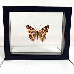 Vlinder in lijst Apatura Ilia. Deze verfijnde lijst bevat de Kleine Weerschijnvlinder. De Apatura Ilia heeft een paarse parelmoer achtige glans op zijn vleugels.De vlinder komt in Zuid Europa voor en wordt als dwaalgast af en toe in Nederland aangetroffen.