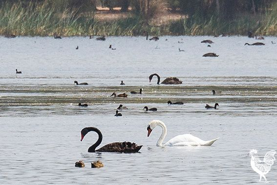 BLACK swans at Lake Monger have accepted a refugee white swan into their midst. Voice reader Ken Gibbons let us know the mute (white) swan's been there about two weeks, likely up from the Avon Rive...