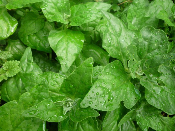 Tetragonia tetragonioides, New Zealand spinach