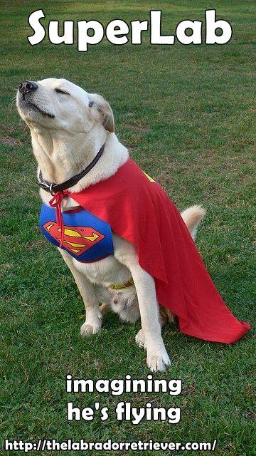 Visit thelabradorretriever.com for more great info about Labrador retriever #lab #labrador #dog