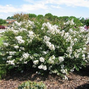 1000 ideas about lagerstroemia on pinterest crepe - Lilas des indes blanc ...