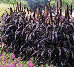 "Millet Purple Majesty-Tall, dark; handsome,dramatic hybrid annual Millet grows 3' to 5' tall &1' wide.showy, bold foliage, deep purple. displays a red mid-rib down the center. The 8""-12"" flower stalks remain nicely upright & turn deep purple with age. Excellent for arrangements & much loved by the birdies. EASY, HEAT & DROUGHT TOLERANT"