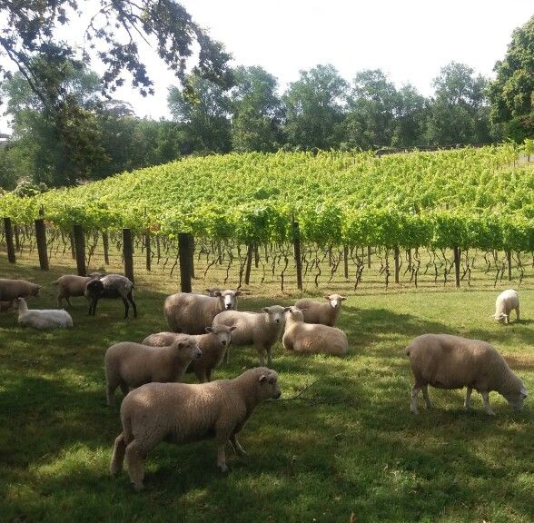 New Zealand vineyard Artisan plays host to sheep   Your travels won't be complete without visiting down under.    Artisan Vineyard http://www.artisanwines.co.nz/restaurant.asp