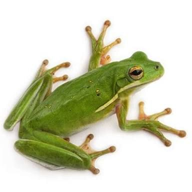 Image result for green tree frog