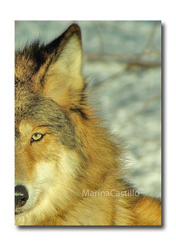 Wolf ~ Happy Friday!!!   Marina Castillo   Flickr