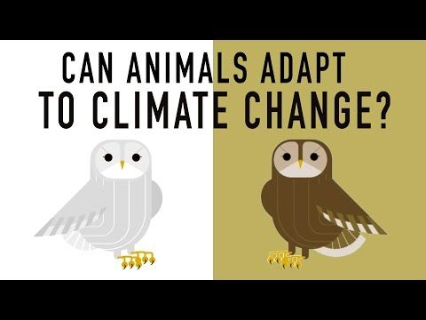 Can wildlife adapt to climate change?  With rising temperatures and seas, massive droughts, and changing landscapes, successfully adapting to climate change is increasingly important. For humans, this can mean using technology to find solutions. But for some plants and animals, adapting to these changes involves the most ancient solution of all: evolution. Erin Eastwood explains how animals are adapting to climate change. View full lesson: http: