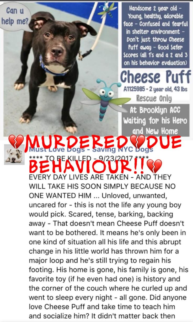 9/23/17 COLDBLOODED AND SENSELESSLY MURDERED! THIS IS SO VERY WRONG! /IJ Brooklyn Center My name is CHEESE PUFF. My Animal ID # is A1125985. I am a male black and white am pit bull ter mix. The shelter thinks I am about 2 YEARS I came in the shelter as a STRAY on 09/19/2017 from NY 11208, owner surrender reason stated was STRAY. 09/22/2017 AT RISK MEMO Cheese Puff A1125985 is at risk with a New Hope Only behavior determination. He has allowed some touch but quickly escalates to warning…