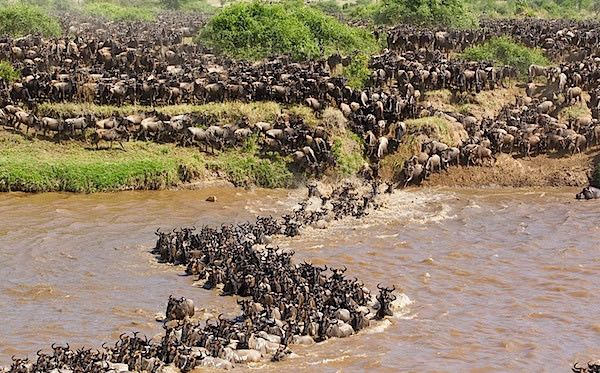 Masai Mara Migration, Kenya | Kenya travel, Wildebeest, Safari tour