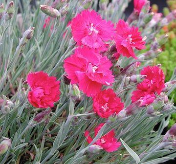 Dianthus Gratianopolitanus-Gruppen 'Rubin' Stor bergnejlika