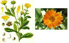 ΒΟΤΑΝΑ ΚΑΙ ΥΓΕΙΑ: πως κάνουμε λάδι από λουλούδια καλέντουλας