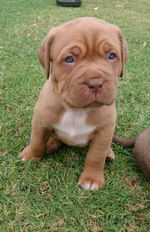 Old english bulldog, Pitbull mix. My dog:) now Zues is freakin huge. Has the same baby face but bigger. Its amazing how fast dogs grow up. I wish zues was still this little puppy.