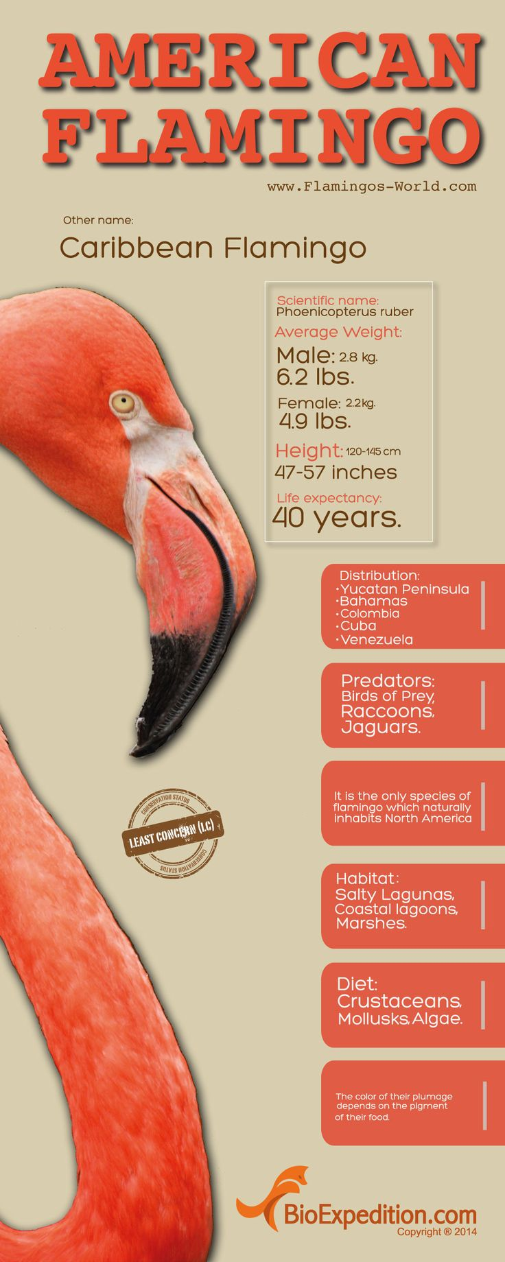 American Flamingo Infographic - Animal Facts and Information