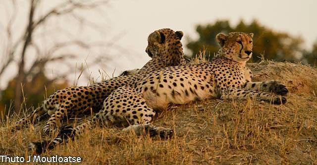 Cheetah on the Linkwasha Concession #HwangeNP
