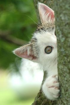 Hiding behind a tree.       ....(KO) Incognito kitty. Waiting for a victim to stroll by. Kitty is patient. And somewhat naughty. Well, mostly naughty. But she is very sweet. Make her day. Walk by within her reach. Humans must be good sports. Good human.