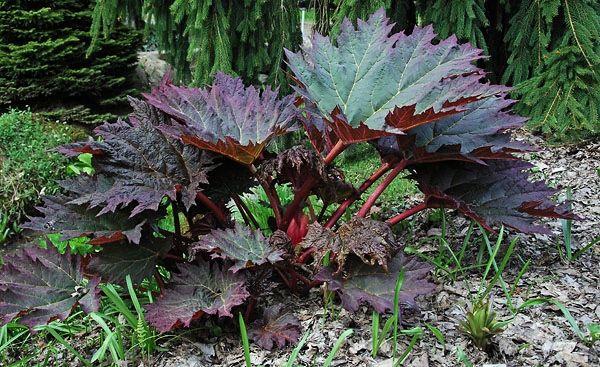 rheum palmatum tanguticum - Google Search
