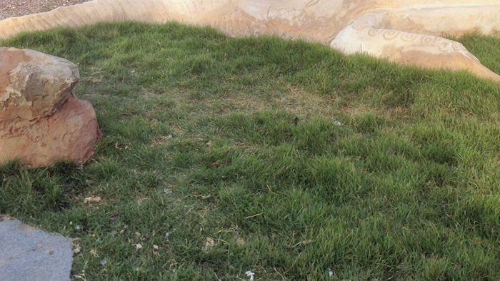 Zoysia macrantha