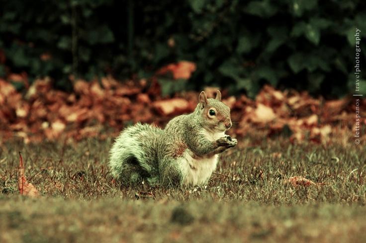 Squirrel protecting a treasure.